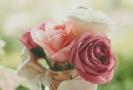 Mezi nejoblíbenější květiny Čechů patří růže.